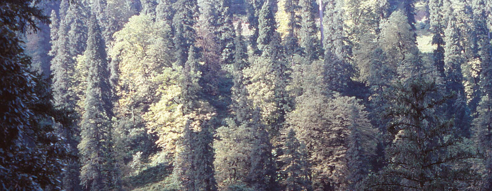Himalayan oak forests