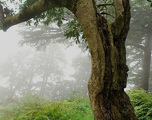 Himalayan Oak conservation projects
