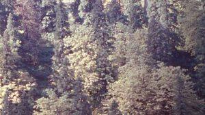 Himalayan Oaks