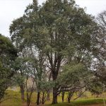 First Himalayan Oak planted in NZ, Eastwood Hills Arboretum - where it all begun. Planted by founder of Eastwood Hill, Douglas Cook.